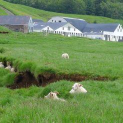 Sheep at Skogar