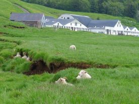 Sheep at Skogar